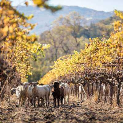 Flock of sheep on a Bonterra Vineyard