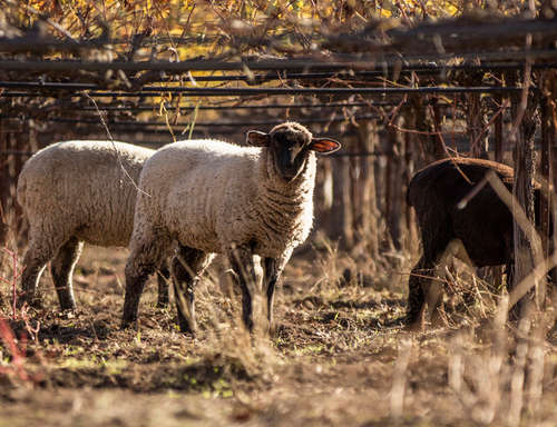Sheep on a Bonterra Vineyard